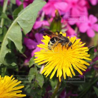 タンポポと蜂の写真・画像素材[2449674]