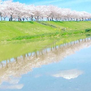 水田に写る桜並木の写真・画像素材[2462630]