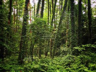 緑の森の写真・画像素材[2470778]