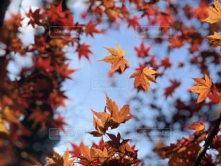 水面の紅葉の写真・画像素材[2458567]