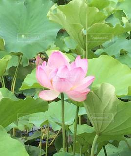 蓮の花の写真・画像素材[2455972]