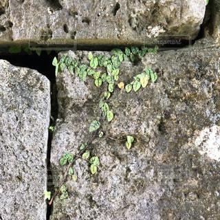 植物の強さ。の写真・画像素材[2450589]