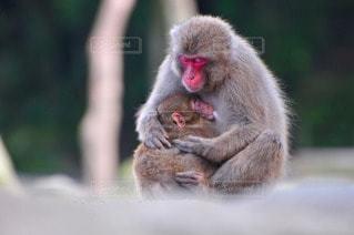 猿の写真・画像素材[109802]