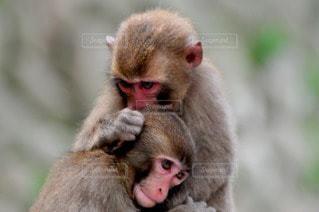 猿の写真・画像素材[109922]
