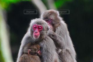 猿の写真・画像素材[109924]