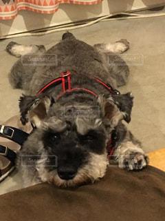 床に横たわる犬の写真・画像素材[2455958]
