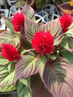 植物の赤の花の写真・画像素材[2456088]
