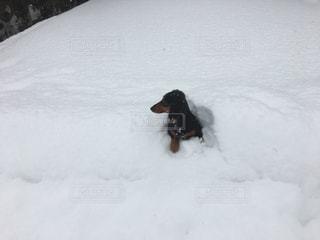 雪で覆われている犬の写真・画像素材[792152]