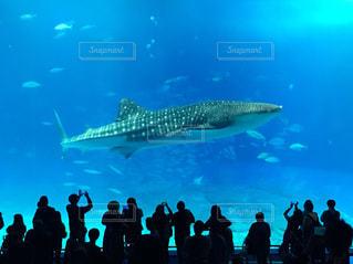 沖縄美ら海水族館のジンベイザメの写真・画像素材[2465398]