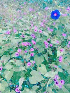 ピンクの花の群しの写真・画像素材[2465292]