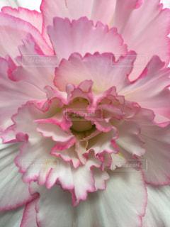 ピンクの花の写真・画像素材[2726908]