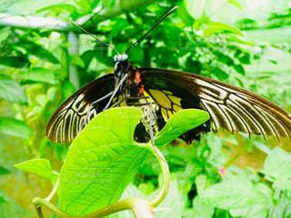 巨大な蝶々の写真・画像素材[2461150]