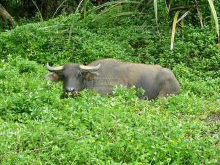 緑豊かな野原の上に立つ牛の写真・画像素材[2461153]