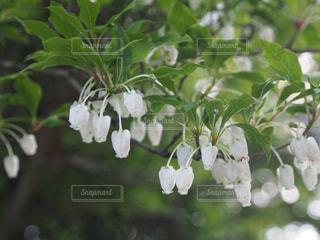すずらんみたいな山の花の写真・画像素材[2471878]
