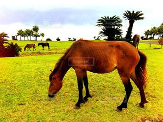草を食べる野生馬の写真・画像素材[2457437]