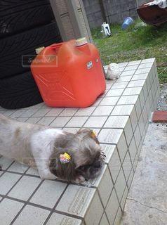 愛犬の昼寝の写真・画像素材[2452897]