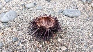 ウニの殻の写真・画像素材[2459965]