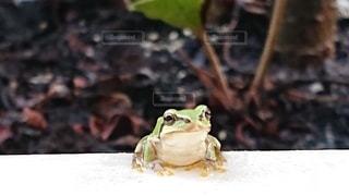 カエルのクローズアップの写真・画像素材[2460018]