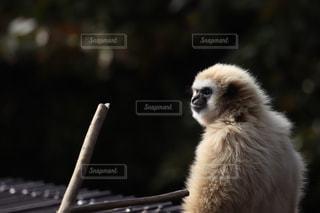 猿の写真・画像素材[2456595]