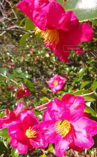 ツツジと蜜蜂の写真・画像素材[2890219]