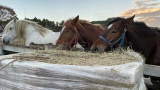 干し草を並んで食べる3頭の馬の写真・画像素材[3911643]