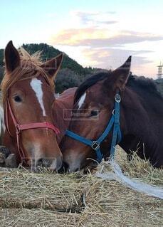 寄り添う馬の写真・画像素材[3912508]