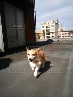コーギー、走るの写真・画像素材[2664431]