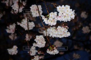 桜の写真・画像素材[431090]