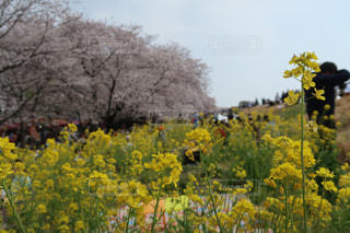 桜の写真・画像素材[1985808]