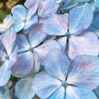 紫陽花の写真・画像素材[2464688]