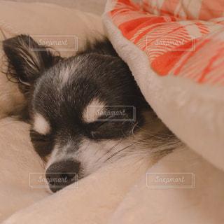 寝ているチワワの写真・画像素材[2836567]