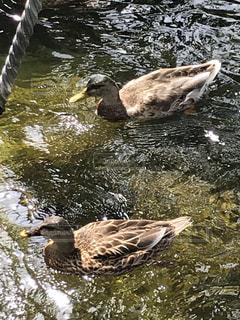 池のカモの写真・画像素材[2463480]