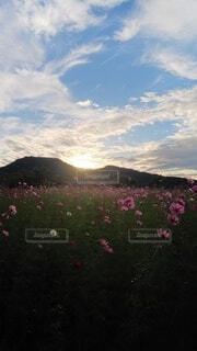 コスモスと山に沈む太陽の写真・画像素材[3768734]