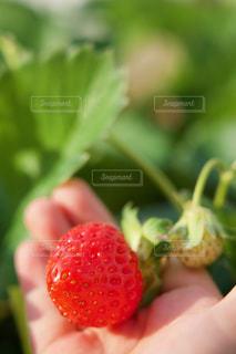 イチゴを持つ子供の写真・画像素材[2503775]
