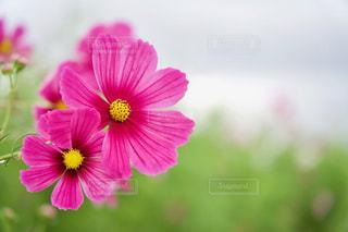 コスモス畑 濃いピンクのコスモスのアップの写真・画像素材[2512809]