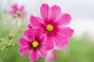 コスモス畑 濃いピンクのコスモスのアップの写真・画像素材[2512810]