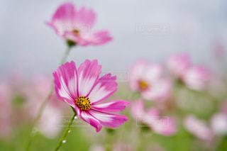 コスモス畑 白ピンクのコスモスのアップの写真・画像素材[2512811]