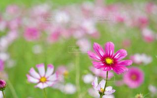 コスモス畑 2色のコスモスのアップの写真・画像素材[2512818]