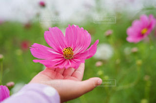 ピンクのコスモスに子供の手の写真・画像素材[2512866]