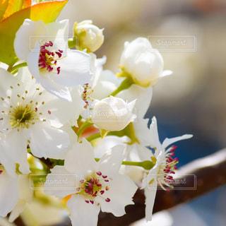 梨の花のクローズアップの写真・画像素材[2467966]