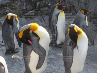 ペンギンの写真・画像素材[144745]