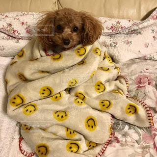 犬moこたつで丸くなるの写真・画像素材[2467398]