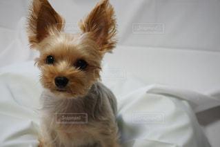ベッドに座っている茶色と白い犬の写真・画像素材[2467471]