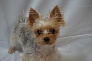 カメラを見ている小さな茶色と白い犬の写真・画像素材[2774303]