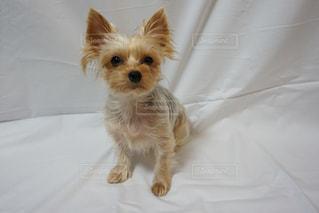ベッドの上に座っている小さな茶色と白い犬の写真・画像素材[2774304]