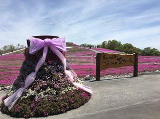 芝桜の丘の写真・画像素材[2467846]