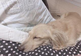 寝てる犬の写真・画像素材[2468381]