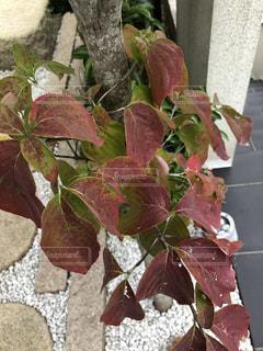 庭木の葉の写真・画像素材[2619687]