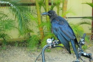 自転車のハンドルに乗るカラスの写真・画像素材[2696421]