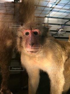 猿の写真・画像素材[96598]
